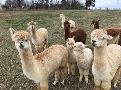 all-alpacas