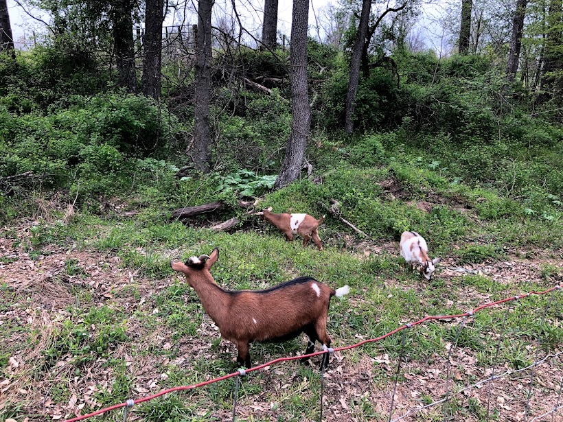 Read more about the article Goats in the Gulch